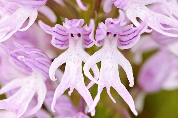 flowers-look-like-animals-people-monkeys-orchids-pareido_011