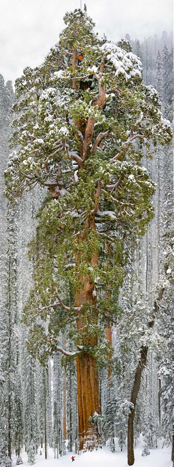 Un séquoia de 75 mètres photographié par une équipe de scientifiques !