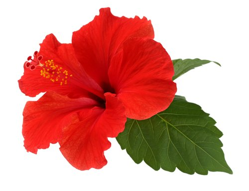 Plantes médicinales : les vertus de l'hibiscus