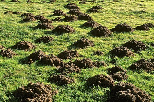 Jardin rem des naturels pour une pelouse sans taupe for Taupe dans le jardin