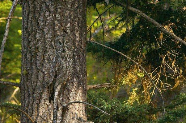 Un hiboux ou un arbre ?