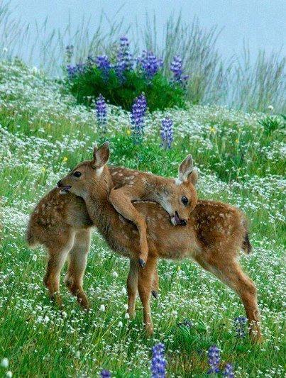 Bambi, le faon le plus connu !