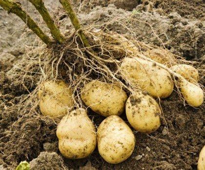 Sélectionner et régénérer ses plants de pommes de terre - Toutvert