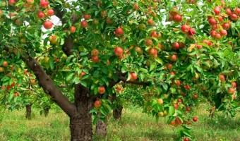 Un badigeon naturel pour protéger vos arbres fruitiers !