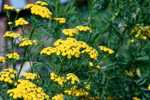 La tanaisie, un fongicide, répulsif et insecticide naturel puissant !