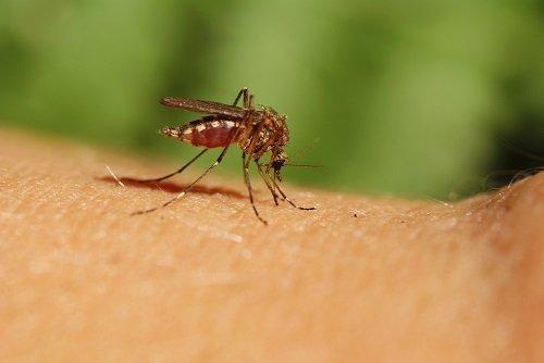 Les remèdes naturels anti-moustiques les plus efficaces