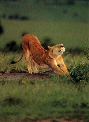 Le lion qui se relaxe...