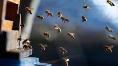 Photo of Combien d'années l'homme pourrait-il survivre à la disparition des abeilles ?