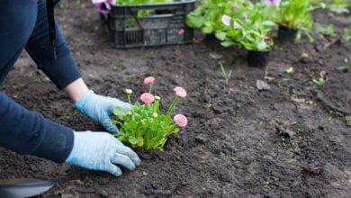 Photo of La clé du jardinage biologique : un sol vivant !