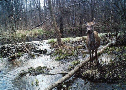 faune sauvage de Tchernobyl