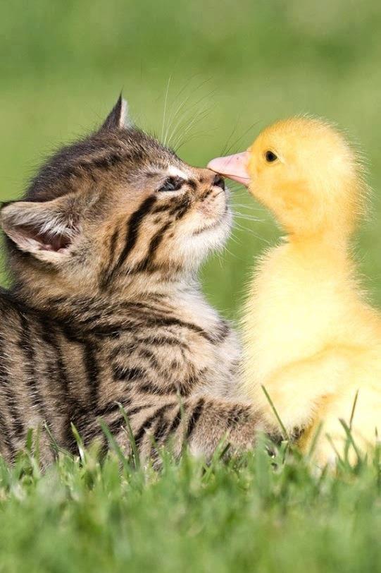 Le chat et le canard