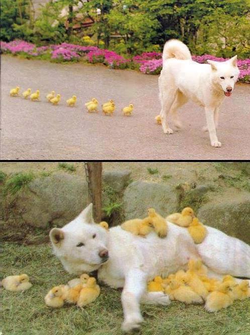 Un chien et ses amis poussins !