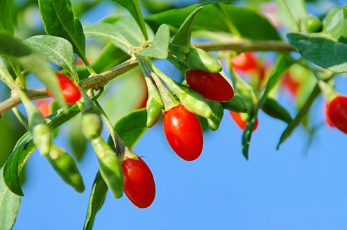 "Les ""superaliments"" : baies de goji"