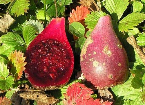 Les figues de Barbarie, des fruits sauvages comestibles