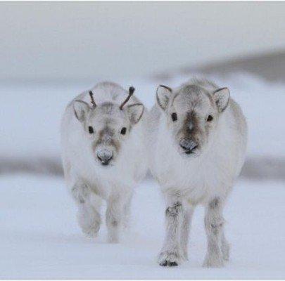 Les bébés rennes