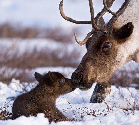 Le bébé renne et sa maman