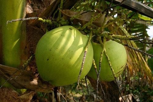 Îles Samoa : exemple d'une conversion en bio réussie