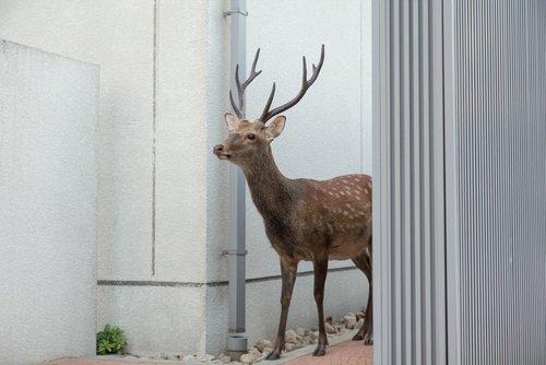 Les cerfs Sika bienvenus dans la ville de Nara au Japon