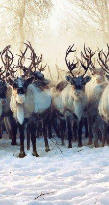 reindeer xmas2