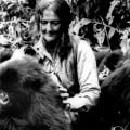 Dian Fossey : portrait d'une primatologue qui a consacré sa vie à protéger les gorilles