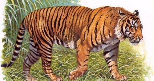 tigre-de-java-660x350