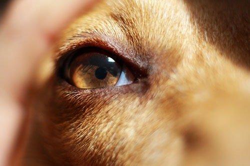 Fabriquez vos lotions naturelles pour chiens et chats (yeux/oreilles)