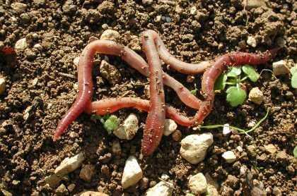 Le lombric ou ver de terre commun au secours de l'agriculture