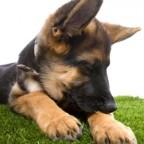 Fabriquez son répulsif naturel contre les tiques & puces (pour chien)