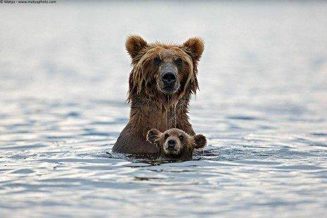 Maman ours guette les dangers !