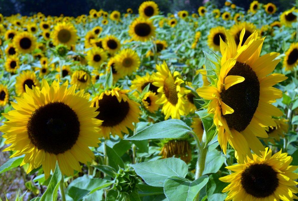 Photo of La nature toujours à l'avant-garde : le tournesol inspire les centrales photovoltaïques