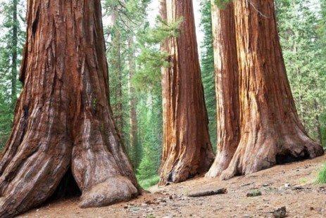 Bois séquoias