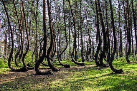 Bois Torcide de Pologne