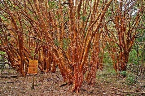 Bois de Arrayanes, Espagne