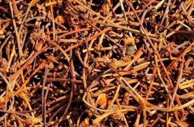 Queue de cerise : ses multiples bienfaits sur la santé