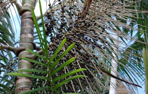 La puissance antioxydante des baies d'açaï