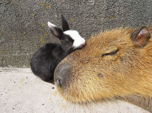 capybara-unusual-animal-friendship-35-5703a5979041b__605-1