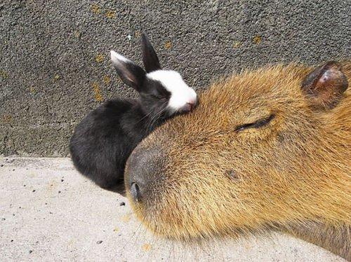 capybara-unusual-animal-friendship-35-5703a5979041b__605-1
