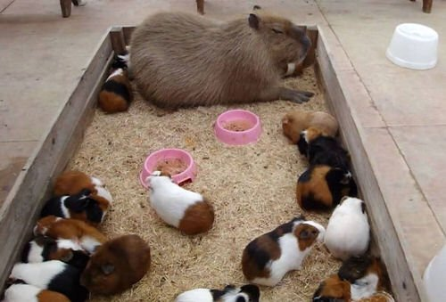 capybara-unusual-animal-friendship-36-5703aa79930a8__605-1