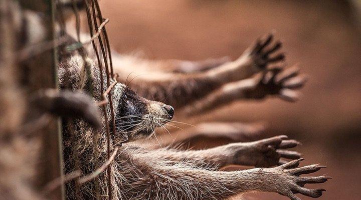 Industrie de la fourrure : la souffrance animale continue