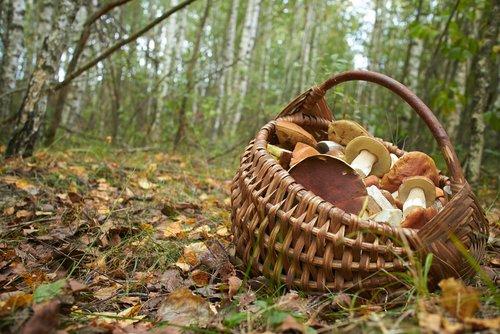 Champignons comestibles, un mets de la nature