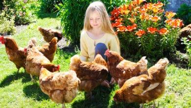 Photo of Élever des poules dans votre jardin ? Nos conseils