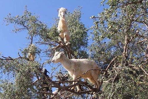chevres-grimper-arbres-manger-maroc-11