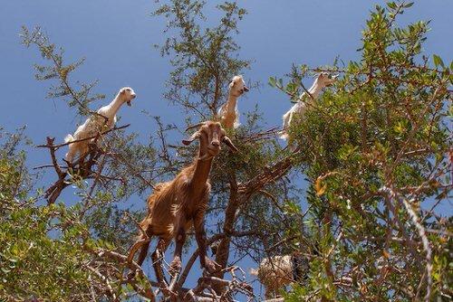 chevres-grimper-arbres-manger-maroc-13-1