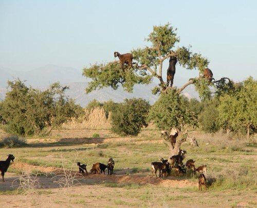 chevres-grimper-arbres-manger-maroc-3