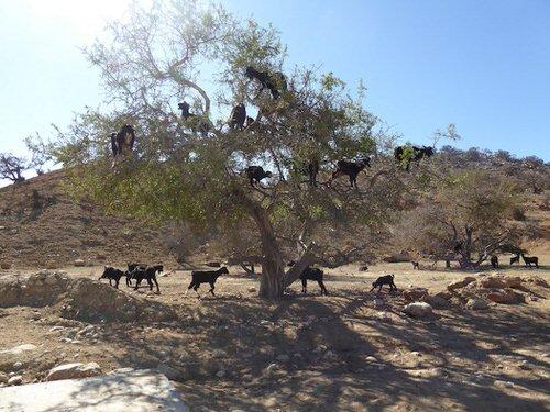chevres-grimper-arbres-manger-maroc-4