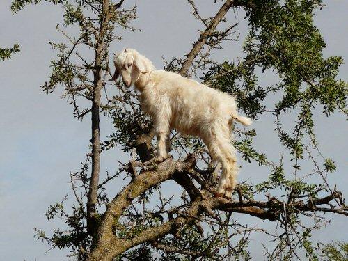 chevres-grimper-arbres-manger-maroc-6