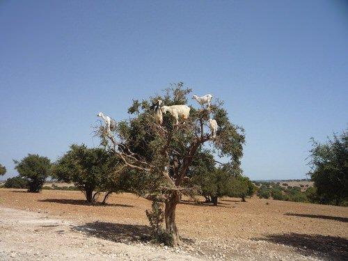 chevres-grimper-arbres-manger-maroc-8