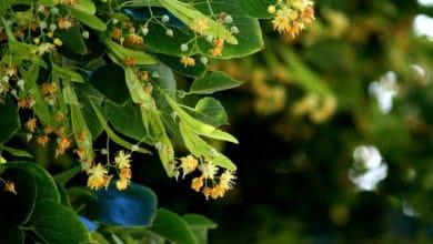 Photo of L'aubier de tilleul, le décapant naturel contre les toxines