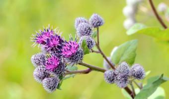 La bardane, une plante médicinale au-delà des apparences