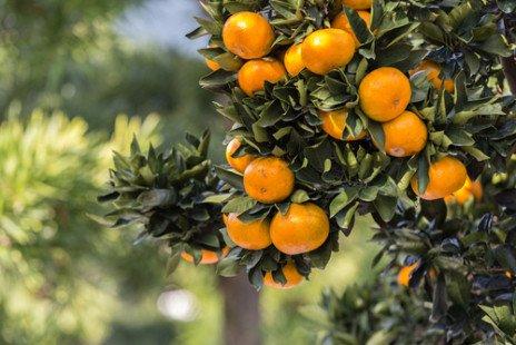 Orange amère, pilule douce ou amère ?